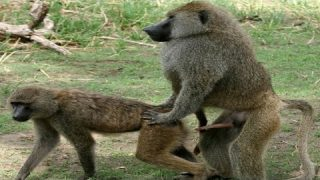 Monkey Mating | How Do Monkey Mating Real Video | Wild Animals Mating | Wildlife Compilation | Sound
