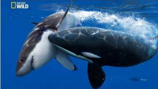National Geographic Documentary – The Greatest Apex Predators on Earth – New Documentary HD 2018