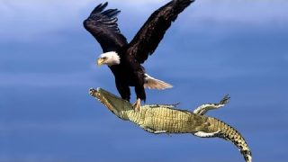 The Best Of Eagle Attacks 2018 – Most Amazing Moments Of Wild Animal Fights! Wild Discovery Animals